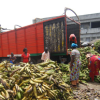 COTE D'IVOIRE: Women bring food to market, against all odds